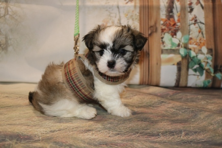 Noodles Male CKC Havashu $1750 Ready 11/19 AVAILABLE 2 Lbs 8 oz 6W4D OLD