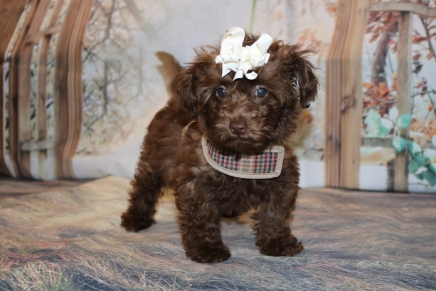 Nutmeg Female Morkipoo $2000 Ready 10/22 AVAILABLE 2.13LB 10W1D OLD