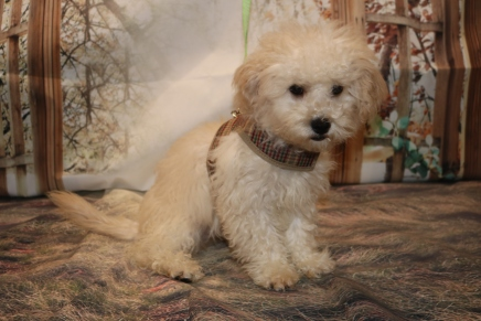 Prince Naueen Male CKC Shihpoo $1750 WAIT PUPPY SPECIAL NOW $1250 WITH ALL HIS PUPPY VACCINES INCLUDING HIS RABIES Ready 8/30 SOLD MY NEW HOME JACKSONVILLE, FL 5.15 LB 17W4D Old