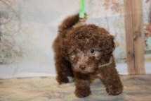 Ryder Male CKC Maltipoo $2000 Ready 11/2 AVAILABLE 2.1LB 8W3D OLD