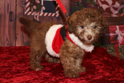 Ryder Male CKC Maltipoo $2000 JUST DISCOUNTED NOW $1750 Ready 11/2 SOLD MY NEW HOME HUMBLE, TX 2.12lb 10w2d old