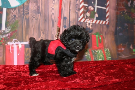 Tinker Belle Female CKC Yorkipoo $2000 Ready 11/27 HAS DEPOSIT ZINKE FAMILY 1 LB 6.5OZ 6W4D OLD