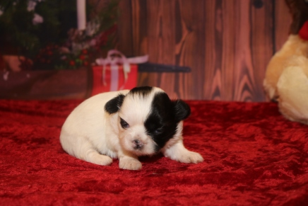 Tinsel Female CKC Shihpoo $2000 Ready 12/24 HAS DEPOSIT MY NEW HOME ORLANDO, FL 14.4OZ 2W5D OLD