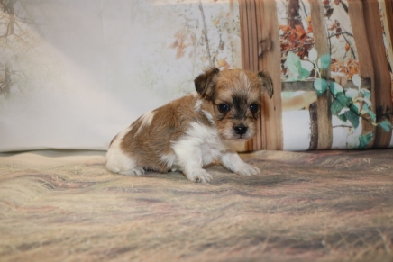 Tyrion Male CKC Shorkipoo $1750 Ready 12/3 AVAILABLE 1 lb 5 oz 4W3D Old