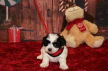 Ace Male CKC Malshipoo $1750 Ready 12/3 AVAILABLE 2.1lb 5W1D Old