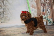 Amber Female CKC Mini Labradoodle $2000 Ready 11/13 SOLD! MY NEW HOME IS AMELIA ISLAND, FL 1 lb 12OZ