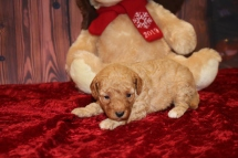 Anna Female Cavapoo $2000 Ready 12/23 HAS DEPOSIT MY NEW HOME ST JOHNS, FL 12oz 9 days Old
