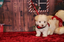Bambino Male CKC Havanese $1750 Ready 11/22 AVAILABLE 1.12lb 7w4d old