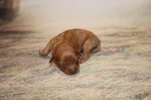 Brut Male Cavapoo $2000 Ready 1/4 AVAILABLE 6.9 oz 4 Day Old