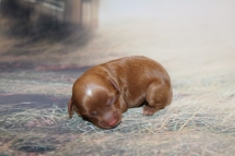 Bubbles FemFemale Cavapoo $2000 Ready 1/4 HAS DEPOSIT MY NEW HOME PONTE VEDRA, FL 4.6 oz 1 Day Old