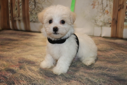 Buttercup Male CKC Havanese $1750 Ready 11/8 SOLD MY NEW HOME JACKSONVILLE, FL1.12LB 7W5D OLD