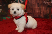 Casanova Male CKC Havanese $1750 Ready 11/22 AVAILABLE 2.7lb 7w4d old