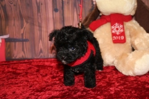 Cersei Female CKC Shorkipoo $1750 Ready 12/3 AVAILABLE 1 lb 3.8OZ 5W5D OLD