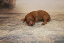 Champagne Female Cavapoo $2000 Ready 1/4 AVAILABLE 6.5 oz 4 Day Old