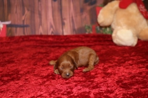 Chandon (Rosie) Female Cavapoo $2000 Ready 1/4 HAS DEPOSIT MY NEW HOME PONTE VEDRA, FL 8.6oz 8 days old