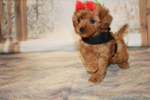 Cherry Female CKC Mini Labradoodle $2000 Ready 11/13 SOLD! MY NEW HOME GAINESVILLE, FL 1.7LB 7W3D OLD