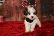 Daisey (Penny) Female CKC Yorkipoo $2000 Ready 11/27 HAS DEPOSIT MY NEW HOME JACKSONVILLE, FL 1.6lb 6w4d old