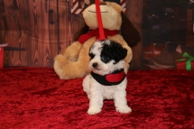 Danearys Female CKC Shorkipoo $1750 Ready 12/3 AVAILABLE 1 lb 7.5OZ 5W5D OLD