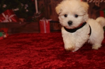 Dreamy Male CKC Havanese $1750 Ready 11/22 AVAILABLE 1.11lb 7w4d old