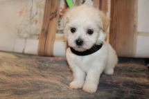 Dreamy Male CKC Havanese $1750 Ready 11/22 AVAILABLE 1.13LB 5W5D OLD