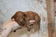 Eve Female CKC Mini Labradoodle $2000 Ready 12/23 HAS DEPOSIT MY NEW HOME WINDERMERE, FL 10.5oz 7 days Old