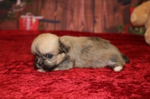 Fraser Male CKC Shorkie $1750 Ready 12/18 AVAILABLE 1.7LB 4W OLD