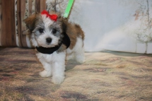 Honey Female CKC Havanese $1750 Ready 11/8 SOLD MY NEW HOME ORMOND BEACH, FL 1.14LB 7W2D OLD