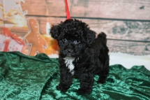 Jon Snow Male CKC Shorkipoo $1750 Ready 12/3 HAS DEPOSIT MY NEW HOME PHILADELPHIA, PA 2 lbs 13 oz 8W1D Old