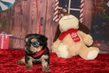 Joy Joy Female CKC Havashire a/k/a Yorkinese $1750 Ready 12/3 HAS DEPOSIT MY NEW HOME WINTER GARDENS, FL 1 Lb 10oz 5w3d old