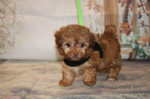 Jumba Male CKC Malshipoo $2000 Ready 11/5 AVAILABLE 1.4LB 8W OLD