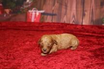 Korbel Male Cavapoo $2000 Ready 1/4 AVAILABLE 7.7OZ 8 days old