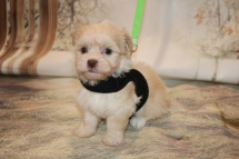 Luvy Duvy Male CKC Havanese $1750 Ready 11/22 HAS DEPOSIT MY NEW HOME JACKSONVILLE, FL 1.5LB 5W5D OLD