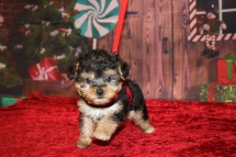Mickey Male CKC Yorkipoo $2000 Ready 11/27 HAS DEPOSIT MY NEW HOME PALM COAST, FL 1LB 6OZ 6W4D OLD