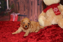 Mistletoe Female CKC Mini Labradoodle $2000 Ready 12/23 HAS DEPOSIT MY NEW HOME JACKSONVILLE, FL 1.2LB 3W OLD