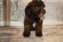 Nemo Male CKC Maltipoo $2000 Ready 11/2 SOLD MY NEW HOME MOBILE, AL 1.12lb 8W3D Old