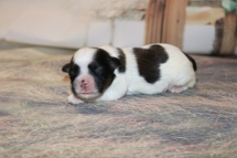 Noel Female CKC Shihpoo $1750 Ready 12/24 AVAILABLE 9.3 OZ 4 DAYS OLD