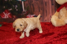 Olaf Male Cavapoo $2000 Ready 12/23 HAS DEPOSIT MY NEW HOME ST JOHNS, FL 1.15lb 3w1d old