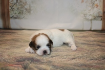 Prince Harry Male CKC Malshi $1750 Ready 12/18 AVAILABLE 1 lb 3.9oz 2W1D OLD