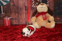 Princess Di (Lola) Female CKC Malshi $1750 Ready 12/18 HAS DEPOSIT MY NEW HOME JACKSONVILLE, FL 1LB 7.3OZ 3W5D OLD