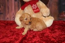 Star Female CKC Mini Labradoodle $2000 Ready 12/23 HAS DEPOSIT MY NEW HOME TAMPA, FL 1.7LB 3W OLD
