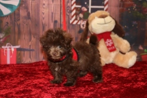 Stitch Male CKC Malshipoo $2000 Ready 11/5 SOLD MY NEW HOME JACKSONVILLE, FL 1 lb 6OZ 8W OLD