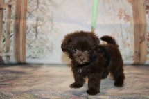 Stitch Male CKC Malshipoo $2000 Ready 11/5 AVAILABLE 1 lb.1 oz 6W3D Old