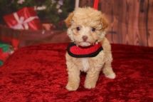 Storm (Savannah) Female CKC Havapoo $2000 Ready 12/4 SOLD MY NEW HOME Ponte Vedra Beach, FL 1 lb 5oz 5w5d old