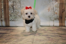 Sugar Female CKC Havanese $1750 Ready 11/8 SOLD! MY NEW HOME JACKSONVILLE, FL 1.11LB 7W2D OLD