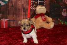 Tyrion Male CKC Shorkipoo $1750 Ready 12/3 AVAILABLE 1 lb 7.7OZ 5W5D OLD