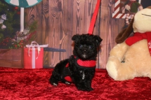 Cersei Female CKC Shorkipoo $1750 Ready 12/3 SOLD MY NEW HOME JACKSONVILLE, FL 1 lb 3.8OZ 5W5D OLD