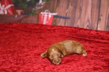 Bubbles Female Cavapoo $2000 Ready 1/4 HAS DEPOSIT MY NEW HOME PONTE VEDRA, FL 7oz 8 days old