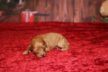 Champagne Female Cavapoo $2000 Ready 1/4 AVAILABLE 8.9OZ 8 Days Old