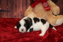 Elf Male CKC Shihpoo $1750 Ready 12/24 AVAILABLE 10.1 OZ 4 DAYS OLD
