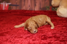 Moet Male Cavapoo $2000 Ready 1/4 AVAILABLE 10oz 8 days old